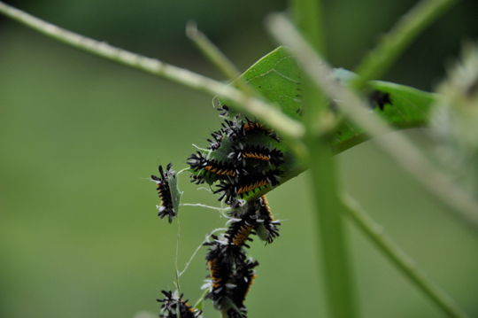 Tussock Caterpillars