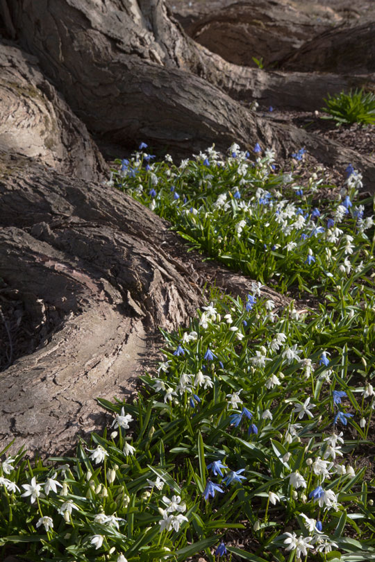 Blue and White Scilla