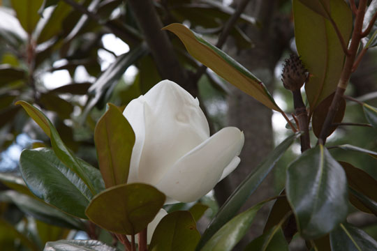 Magnolia grandiflora 'Edith Bogue'