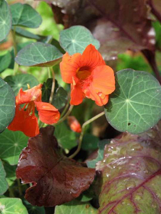 Tropaeolum 'Princess of India'