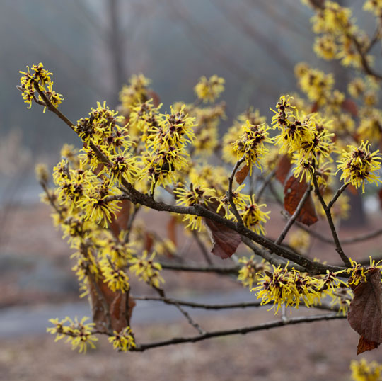 Hamamelis mollis 'Early Bright'